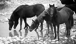 Horses in the snow<br /> Team Nijhof<br /> Photo© Dirk Caremans