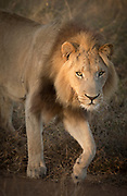 Close-up of male lion looking at camera in Hlane Royal National Park, Eswatini