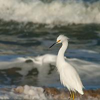 A Snowy Egret (Egreta thula) forages along a Pacific Ocean beach near Pescadero, California.