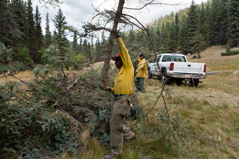 A worker carries a newly removed tree in the Valles Caldera. Santa Clara Pueblo has received $6,513,000 in stimulus funds to promote healthy forests and reduce hazardous fuels.