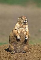 Black-tailed Prairie Dog (Cynomys ludovicinus).