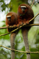 Dusky Titi Monkeys (Callicebus discolor) at the Tiputini Biodiversity Station, Orellana Province, Ecuador