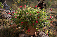 Red verbena in a terracotta pot on a stone wall on the Orkos Estate, Paxos, Greece, Europe