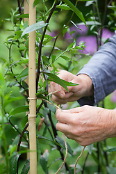Staking Aster laevis 'Calliope' with a cane