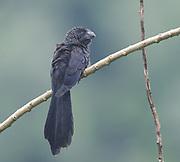 A smooth-billed ani (Crotophaga ani) . Yasuni National Park, Amazon, Ecuador.