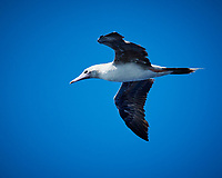 Brown Booby. Viewed from the deck of the MV World Odyssey. Image taken with a Nikon 1 V3 camera and 70-300 mm VR lens (ISO 180, 147 mm, f/5.6 1/1000 sec).