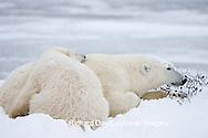 01874-107.17 Polar Bears (Ursus maritimus) mother and cub Churchill, MB Canada