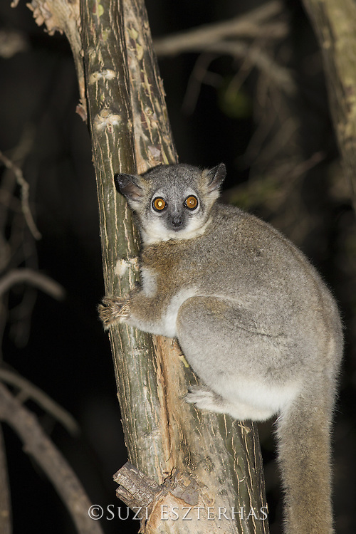 White-footed sportive lemur<br /> Lepilemur leucopus<br /> Berenty Private Reserve, Madagascar