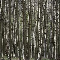 Aspen trunks crowd a forest below Tioga Pass.