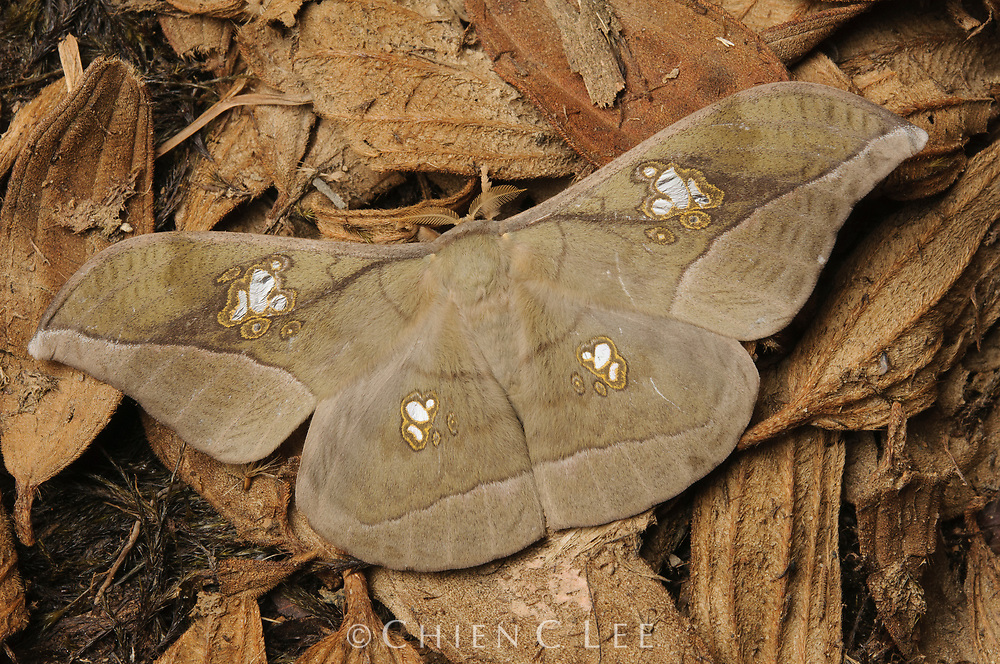 Saturniid moth (Antheraea rosieri), female. Sarawak, Malaysia (Borneo).