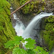 Maple Sapling Sol Duc Falls - Olympic National Park