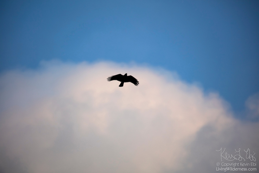 An American crow (Corvus brachyrhynchos) flies against a large cumulus cloud in Bothell, Washington.