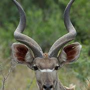 Kudo, large male, Malamala Game Reserve, South Africa.