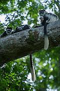 Guereza colobus monkey (Colobus guereza)<br /> Lango Bai<br /> Republic of Congo (Congo - Brazzaville)<br /> AFRICA