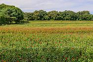 Field of Flowers, , Sagaponack, NY