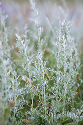 Sea Wormwood, growing wild on the salt marsh at Stiffkey, Norfolk. Artemisia maritima