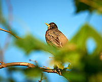 American Robin. Image taken with a Nikon D800 camera and 500 mm f/4 VR lens.