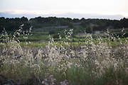 Grasses at dusk in the landscape at Gruissan, Languedoc-Roussillon, France.