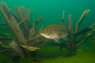 Largemouth Bass on a Fishiding Structure<br />