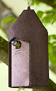 Bluetit adult bird leaves nestbox in a garden, The Cotswolds, Oxfordshire, UK