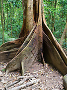 View of the root system of a strangler fig tree at Mossman Gorge, part of Daintree National Park, Mossman, Queensland, Australia