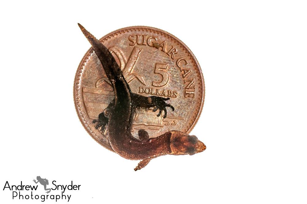 Amazon clawed gecko, Pseudogonatodes guianensis, Iwokrama, Guyana, July 2013