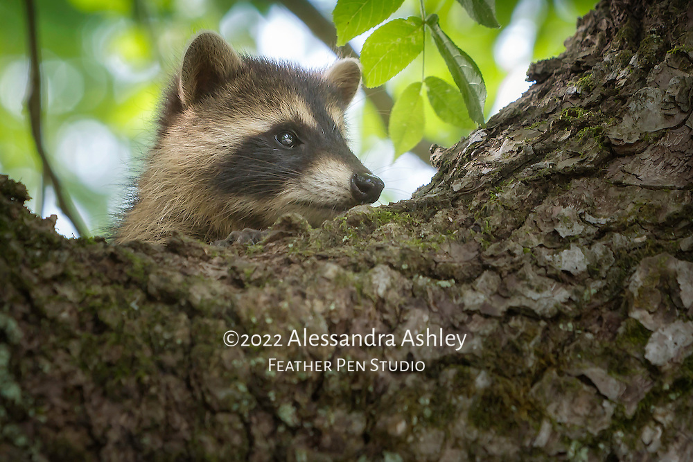 Profile view of young North American raccoon kit found pausing in tree outside den.