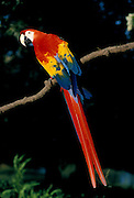 Portrait of a Scarlet Macaw (Ara macao) . Native from South Mexico to Amazonia (Brazil). Captive, Portland, Oregon.