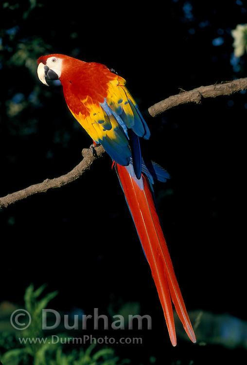 Portrait of a Scarlet Macaw (Ara macao) . Native from South Mexico to Amazonia (Brazil). Captive, Portland, Oregon.