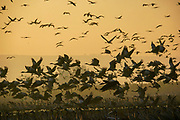 Common crane (Grus grus) Silhouetted at dawn. Photographed in the Hula Valley, Israel, in January