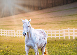 A white steed poses under the sunshine with a white fence in the background