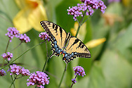 A Beautiful Butterfly, The Eastern Tiger Swallowtail On Brazilian Verbena Flowers, Papilio Glaucus