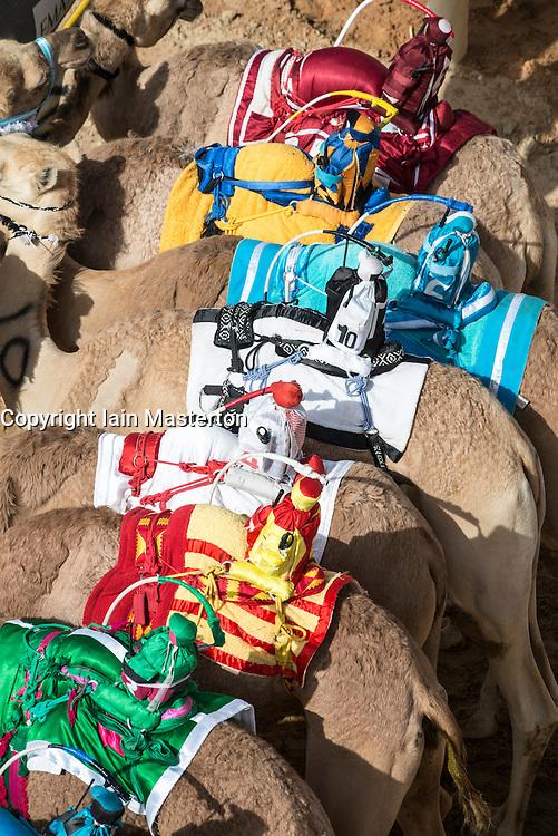 Camel racing festival at Al Marmoum camel racing racetrack in Dubai United Arab Emirates 2014