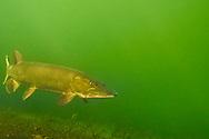 Muskellunge <br /> <br /> Engbretson Underwater Photography
