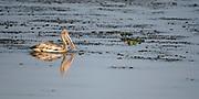 Spot-billed pelican (Pelecanus philippensis) from Kaziranga National Park, Assam, north-east India.