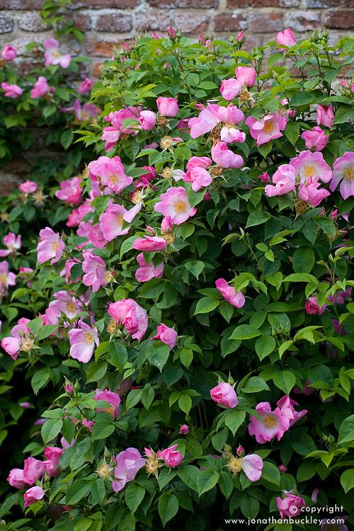 Rosa 'Complicata' AGM in The Rose Garden at Sissinghurst Castle