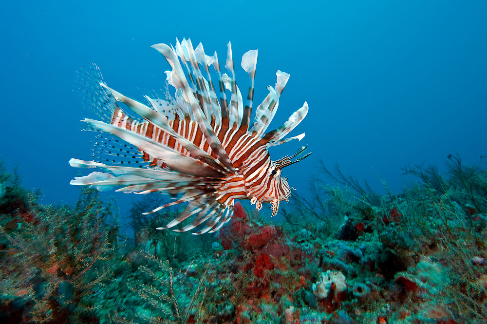 A Volitans Lionfish, Pterois volitans, an invasive speceies, prowls a coral reef offshore Palm Beach, looking for juvenile fish to eat.