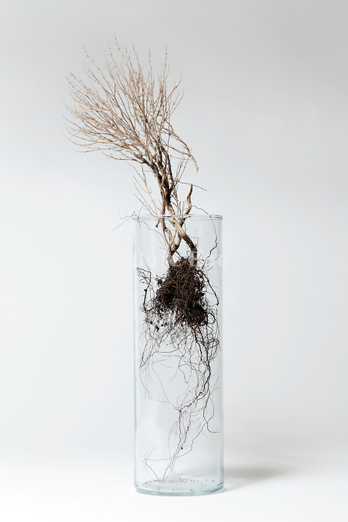 a small tree with it roots in a glass vase that died