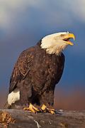 USA, Alaska, Chilkat Bald Eagle Preserve, Bald eagle (Haliaeetus leucocephalus)