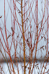 Abstraction of a young willow tree in a winter-y landscape with red and yellow branches
