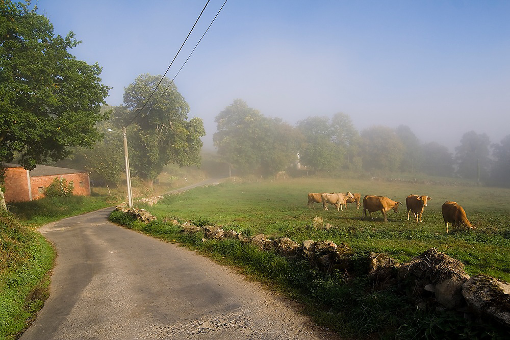 Cows stand in a field in morning mist along the Camino de Santiago between Sarria and Portomarin, Galicia, Spain.
