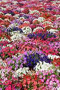 A wide-angle view of a mass of colourful Petunias flowers growing in a garden at Marsaxlokk Malta in mid-summer