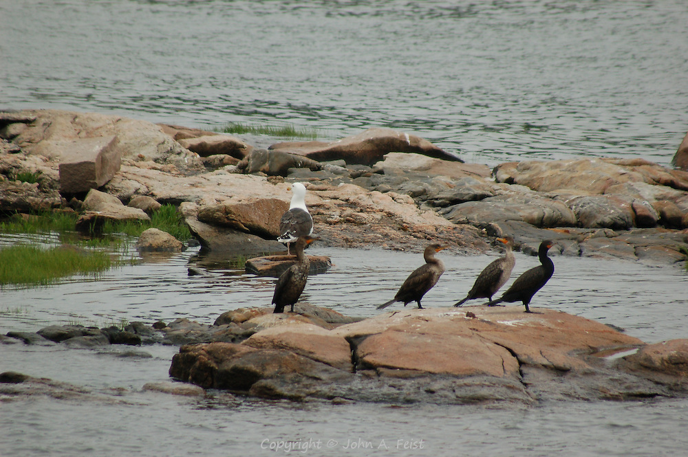 A group of cormorants and a seagull on the rocks of the Thimble Islands in Long Island Sound at Stone Creek, CT