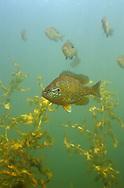 Pumpkinseed Sunfish<br /> <br /> ENGBRETSON UNDERWATER PHOTO
