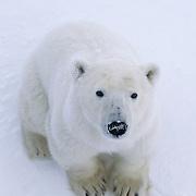 A young polar bear looking up. Cape Churchill, Hudson Bay, Canada