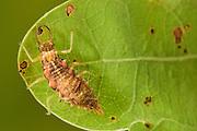 Lacewing larva (Nothochrysa fulviceps) on oak tree leaf Niedersechsische Elbtalaue Biosphere Reserve, Elbe Valley, Lower Saxony, Germany | Larve einer Rotköpfigen Florfliege (Nothochrysa fulviceps) auf einem Eichenblatt. Typischer für die Larve ist es sie sich mit Nahrungsüberresten und Stöckchen auf dem Körper zu maskiert / tarnen. Das Tier lebt in den oberen Teil der Baumkronen.