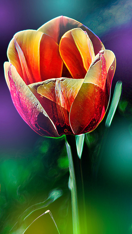 A single tulip shot with color flash gel. This was actually a tulip planted next to a mailbox I came across while out on a nature walk.