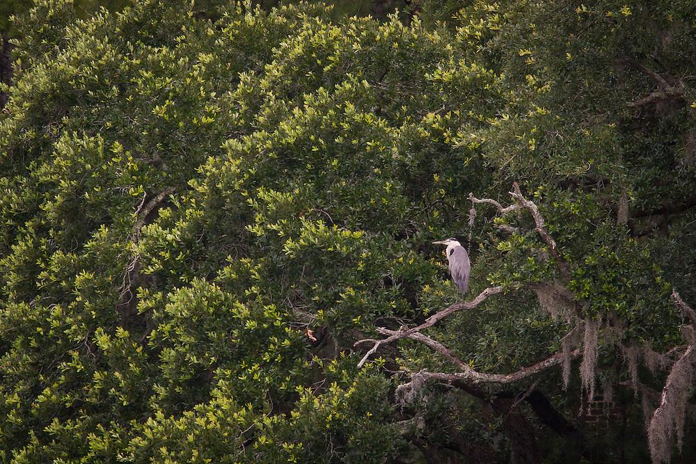 Great Blue Heron perches on dead limb among live oaks.