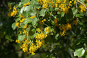 Flowers and leaves of the Round-leaved teak, Pterocarpus rotundifolius, Limpopo, South Africa