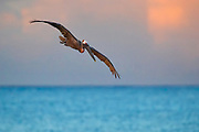 A brown pelican (Pelecanus occidentalis) flies over the blue water of Puerto Real off the coast of Esperanza on the island of Vieques, Puerto Rico. The brown pelican feeds mainly on fish and is one of only two types of pelicans that feed by diving head-first into the water.